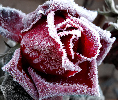 Frosted_Rose_by_Bill_Tyne_11.19.2005